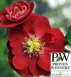 Buy Flowering Quince Double Take™ Scarlet Storm online at Greenwood Nursery