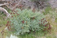 LOMATIUM DISSECTUM, fernleaf biscuitroot - The most potent and well-researched herbal anti-viral native to North America
