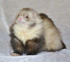 angora  ferrets | Angora Ferret Kits 2014 Waiting List