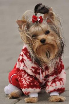 cute yorkie Yorkshire terrier in red and white winter sweater Cute Puppies, Cute Dogs, Dogs And Puppies, Corgi Puppies, Beagle, Yorkshire Terriers, Boston Terriers, Bull Terriers, Christmas Animals