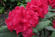 Thank you for taking a look at one of our several hundred Hybrid Rhododendrons we have for sale on Etsy and our website! At RhododendronsDirect.com, all we do is Rhododendrons!    Product Description    Bloom Color:  Red    Bloom Season:     Mid Season    Plant Height(potential in 10 years): 3 feet    Hardy to: 0 F    Container Size/Age:  Two Gallon Plant -  These rhododendrons are typically rooting into a two gallon container or have spent one year as a field grown plant. They can range in…