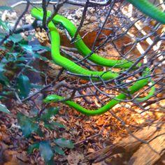 Snake @ San Antonio zoo