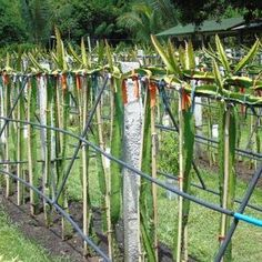 Dragon Fruit South Africa Cuttings For Sale - Planting Method Fruit Plants, Potted Plants, Como Plantar Pitaya, Front Door Christmas Decorations, Cuttings, Planting, Gardening, South Africa, Succulents