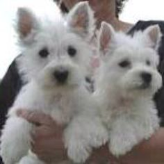 Westie Puppies...SO much like Boomer and Maisie