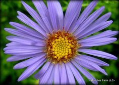 Aster October Skies- low, mounding growth, fragrant, nice color for the late summer garden.