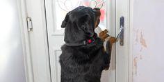 Cette jeune chienne sauve la vie de son maître en utilisant le tour qu'elle avait appris