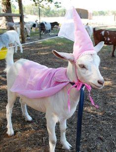 Princess Snowball-- mini fainting goat