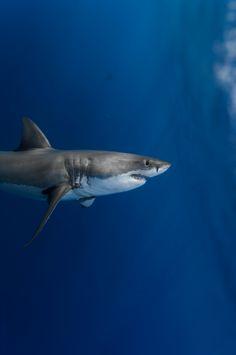 shark in deep blue sea underwater photo ocean life - lock screen iPhone wallpaper background