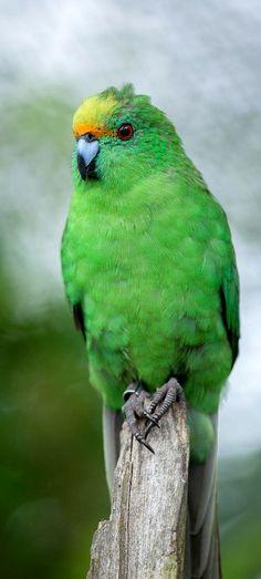 Orange-fronted parakeets (Kākāriki Karaka) - one of New Zealand's most threatened endemic forest bird species.