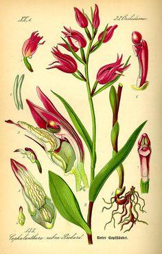 high res botanical prints in a german site   Flora von Deutschland Österreich und der Schweiz (1885)