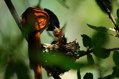 A paradise flycatcher and its brood.