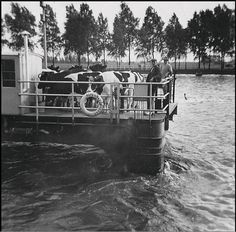 Boer Sturkenboom met koeien op rijdend pontveer Houten (1965)