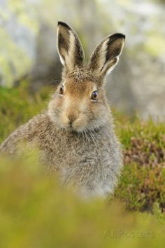 Mountain Hare (Lepus Timidus) Sub-Adult Leveret Portrait ...