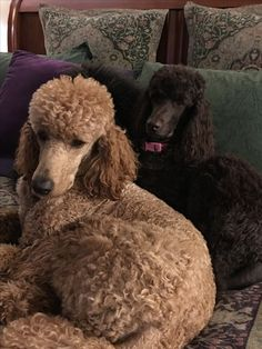 Poodles, such beautiful and loyal dogs. I Love Dogs, Cute Dogs, Red Poodles, French Poodles, Poodle Drawing, Poodle Cuts, Dogs And Puppies, Doggies, Poodle Puppies