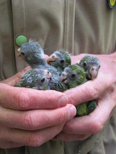 Baby Kakariki (NZ Parakeet) All Birds, Love Birds, Beautiful Birds, Conure, Cockatoo, Budgies, Cute Baby Animals, Bird Feathers, Cute Art