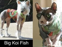 Big Koi Fish: Tattoo Inspired Sphynx Cat Clothes. Tattcat™ is a lightweight illusion outfit for your furry or hairless cat or dog clothes.