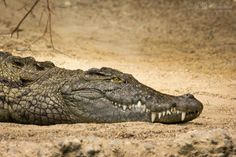 Australian-crocodile, Crocodylus johnsoni, head