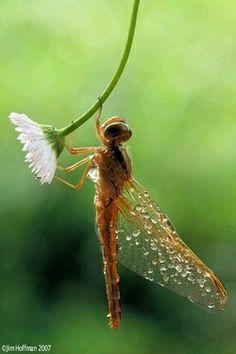 Little bitty one Dragonfly (Macro photography) Beautiful Bugs, Beautiful Butterflies, Foto Macro, Gossamer Wings, Fotografia Macro, Bugs And Insects, Flying Insects, Mundo Animal, Tier Fotos