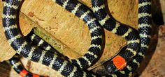 rabo de ají Reptiles, Snake, Animals, Coral, Google, Snakes, Animales, Animaux, A Snake