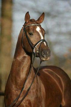 #hanoverian stallion.