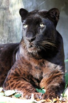 When is a black panther not a black panther?  When it is a black leopard. Big Cat Rescue, Tampa, Florida