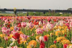2014.04.14 / tulip : チューリップ / kissx5 @福岡県直方市
