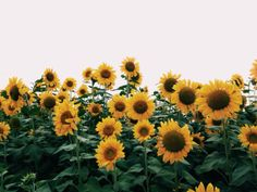 bucket list: go to a sunflower field