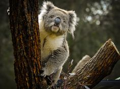 The cutest inquisitive Koala I've come across! #Australia
