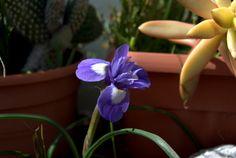 Iris Silvestres - Marzo 2013 - Álora (Málaga).