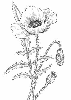 Black and White Flower Png 1478 2400 Free in poppy flower drawing Poppies Drawing at GetDrawings Poppy Coloring Page, Flower Coloring Pages, Adult Coloring Pages, Coloring Books, Coloring Sheets, Free Coloring, Mandala Coloring, Colouring, Poppy Drawing