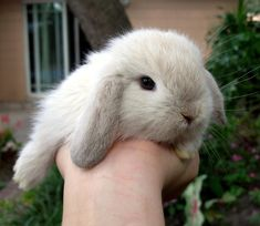 We currently have some beautiful baby holland lop bunnies. They are a very affectionate pet for chil...