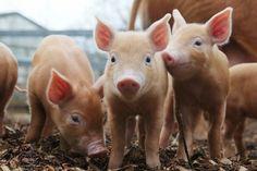 little piglets :)