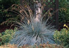 Blue Oat Grass has a lovely form with gently arching seed heads.  Beechwood Landscape Architecture and Construction: Blue Oat Grass Featured Plant of The Day