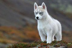 Siberian Husky pup...♥