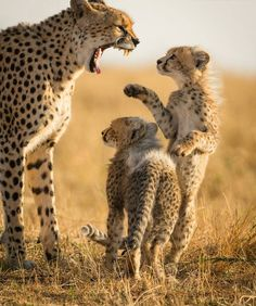 "geographicwild: "" . Photography by @ (Iris Braun). Masai Mara - Kenya The most famous cheetah of the Mara, Malaika, with her two new cubs (almost three monts old). #wildlife #cheetah #MasaiMara #Kenya..."