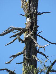 Eagle at Toquaht Bay Canadian Travel, Bald Eagle, Highlights, Scenery, Landscape, Landscapes, Hair Highlights, Paisajes, Highlight