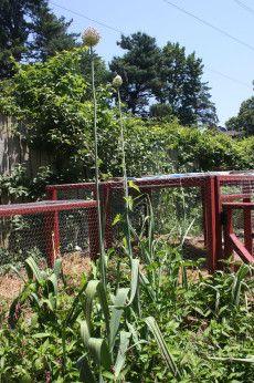 How to chicken proof your garden!