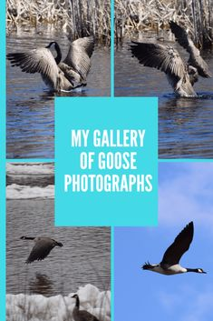 Photo gallery of Canadian Geese. Wild Life, Photo Galleries, Photographs, Birds, Fantasy, Gallery, Nature, Pictures, Art
