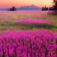 Fireweed with a volcano in the background - on the road to Homer, Alaska during a summer sunset.