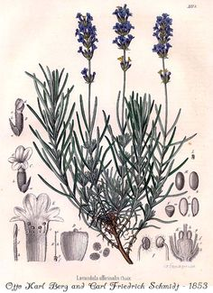 Lavendel - happiness, love, beauty, protection, purification, relaxation, sleep and inner knowledge