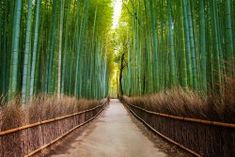 The Arashiyama Bamboo Grove is one of Kyoto's top sights and for good reason: standing amid these soaring stalks of bamboo is like being in another world. If you've been planning a trip to Kyoto, you've probably seen pictures of the Arashiyama Bamboo G Tree Tunnel, Forest Bathing, Japan Travel Guide, Asia Travel, Travel Tips, Forest Path, Forest Road, Photos Du, Stock Photos