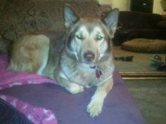 Fiona is an adoptable Husky Dog in Nashville, TN. This strikingly beautiful girl was found roaming the streets with her BFF, Fletcher, in the roughest part of town. Fiona tends to be cautious when mee...