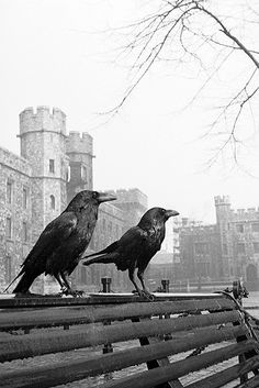 Two ravens perched on a bench at the Tower of London in front of the Waterloo block by John Gay