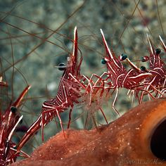 Durban dancing shrimp (Rhynchocinetes durbanensis) dress up! by Michael Henke #Dancing_Shrimp