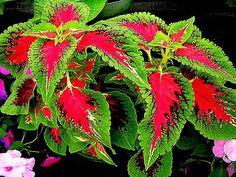 A legszínesebb egynyári virág a díszcsalán!