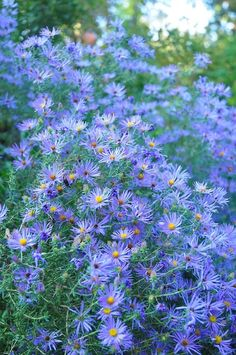 This aster, 'October Skies' is another beautifully hard working fall plant for the bees. I was not sure about it so I did not plant many - not going to make that mistake again. Plant where ever you have a sunny spot to fill, or go wild with a whole boarder! Photo belongs to: Reddirtramblings.com Symphyotrichum oblongifolium 'October Skies'