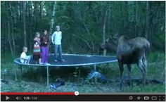 Whoa! Moose Encounter! Watch here: http://awesomeanimals001.blogspot.co.il/2013/04/moose-encounter.html