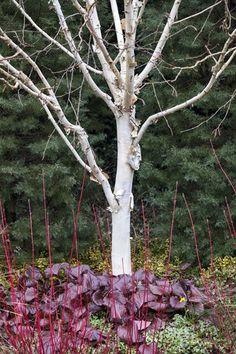 Betula Utilis, White Bark Design a Winter Garden that Combines Toughness, Color & Texture Bressingham Gardens Norfolk, England garden exterior Trees And Shrubs, Winter Garden, Garden Planning, Garden Beds, Garden Projects, Garden Inspiration, Outdoor Gardens, Garden Design, Gardens