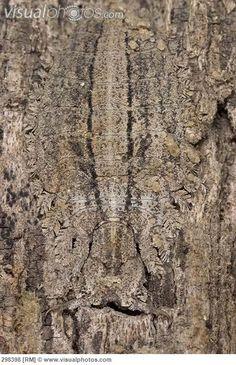 Owl Fly (Ascalaphidae) larva, camouflaged on the trunk of a savannah tree, Botswana
