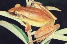 PERERECA-CARNEIRINHO Hypsiboas albopunctatus Instituto Rã-bugio para Conservação da Biodiversidade